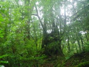 森を歩くと立派な樹々が多い