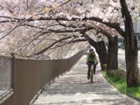 桜のトンネルを走れる恩田川