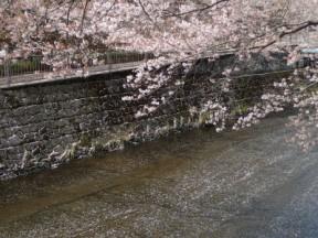 川面に流れる桜色