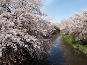 恩田川の桜は毎年きれい