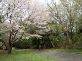 町田尾根は桜の名所。桜ツーリングに最適