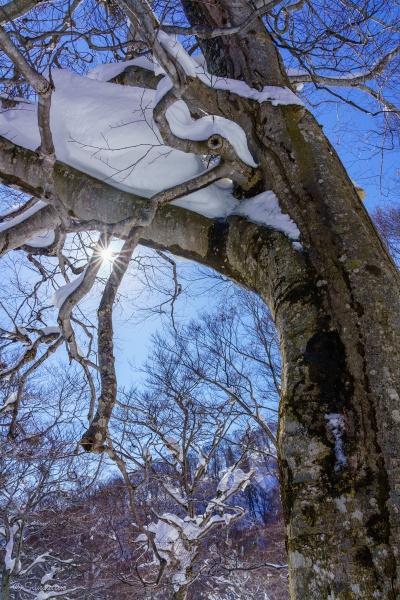 冬の陽を浴びるブナ
