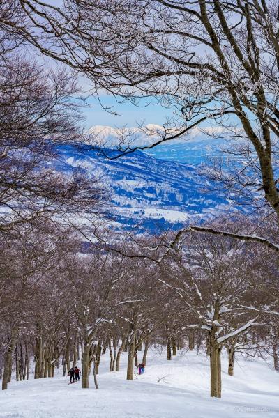 越後三山をバックにブナ林を登るスキーヤー